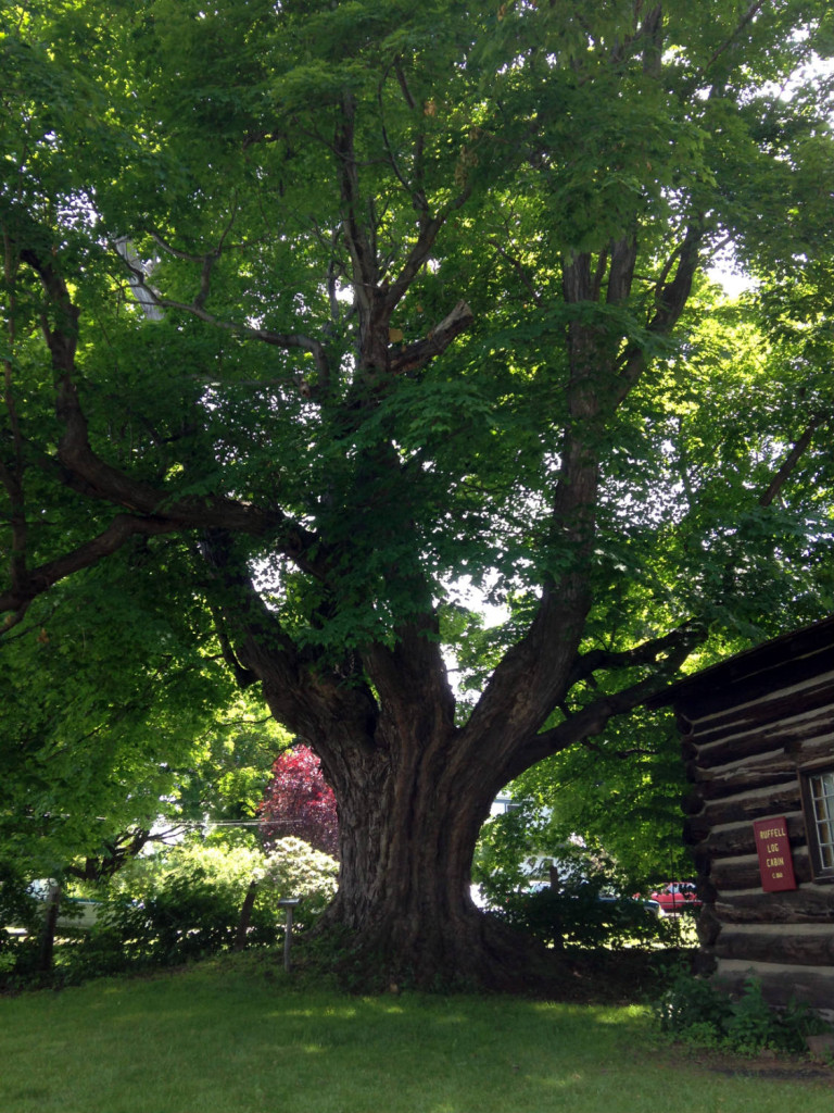 Largest Maple Tree in New York State