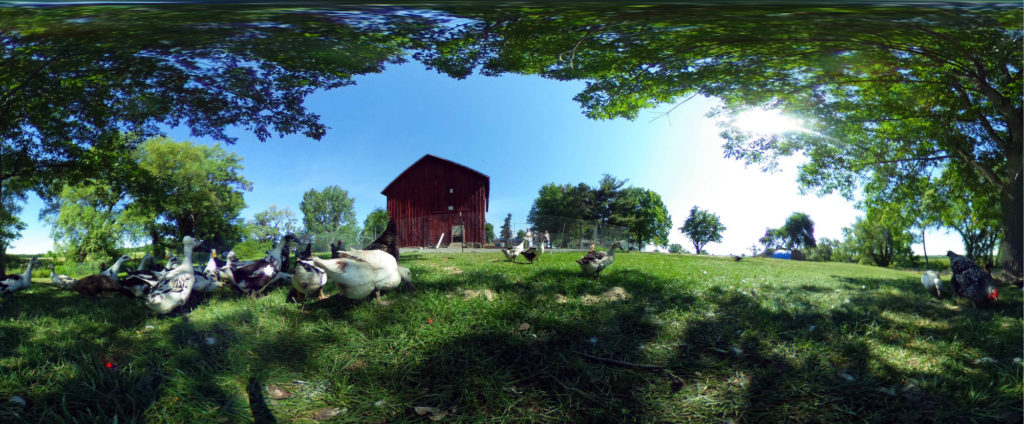 Ducks and Chickens at Spotted Duck Creamery in Penn Yan, New York