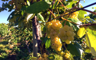 Grapes of Moore- Featured Image