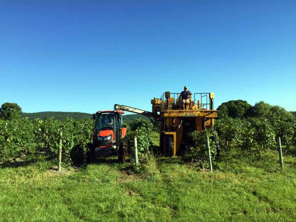 Harvesting Moore's Diamond Grape at Randall-Standish Vineyards in Canandaigua, New York