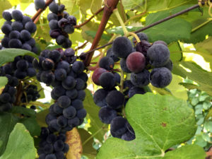 Concord Grapes at Fulkerson Winery in Dundee, New York