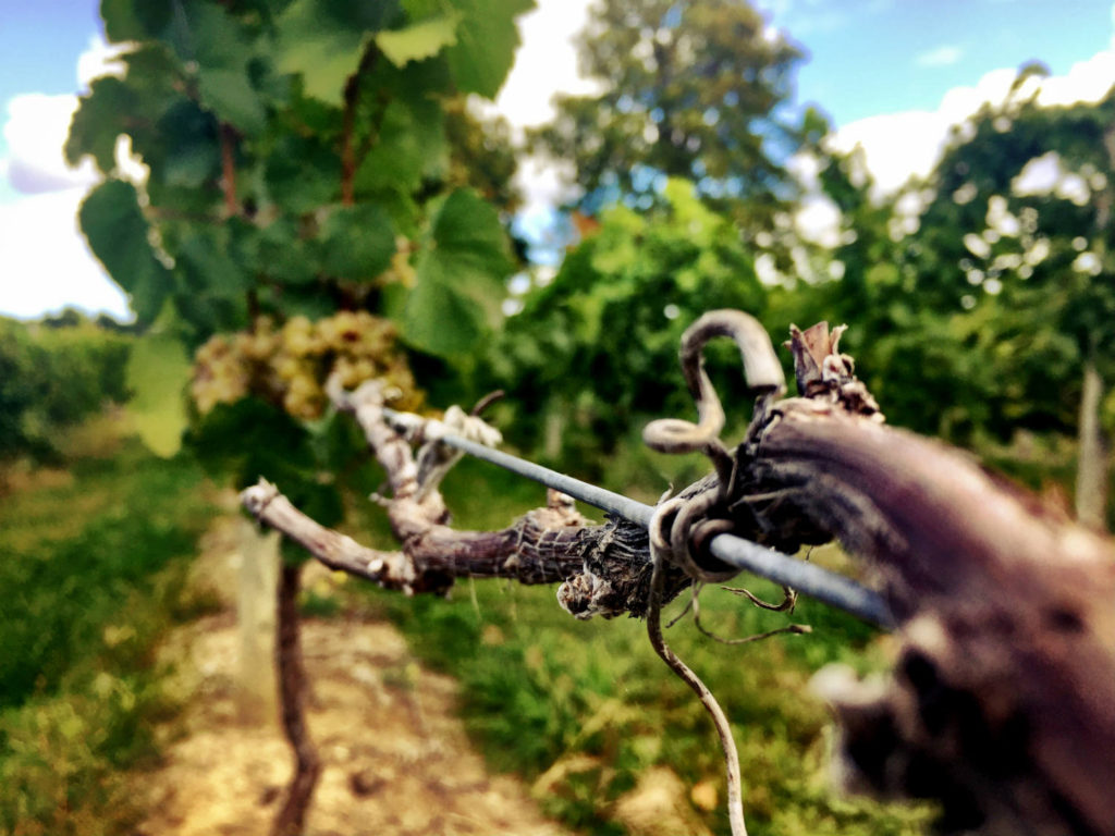 Grape Vine at Fulkerson Winery Vineyard in Dundee, New York