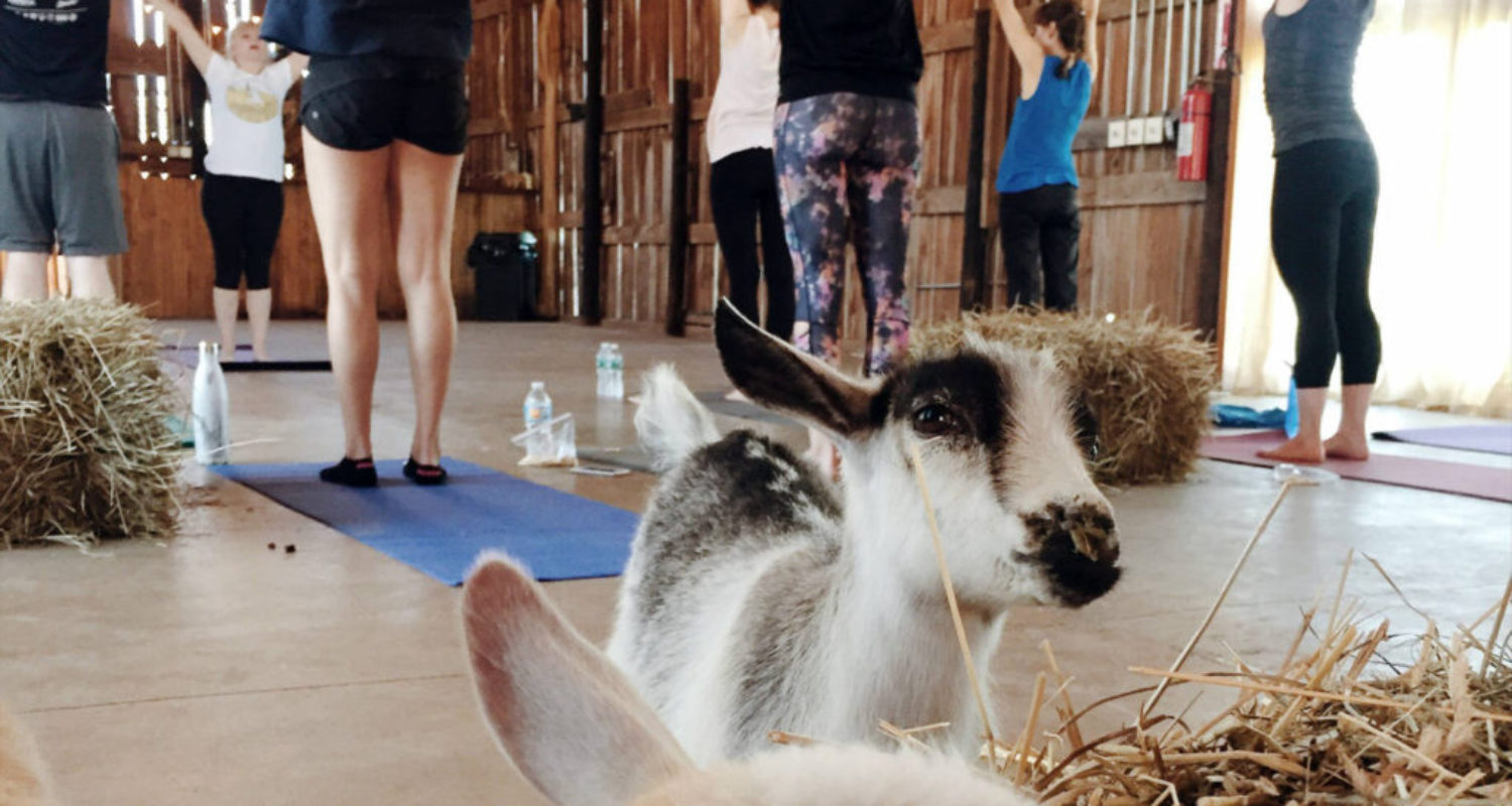Goat Yoga - Featured Image