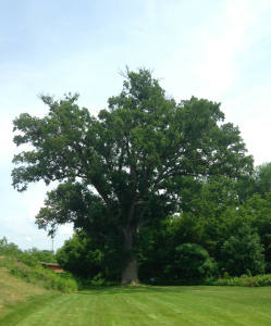 The Torture Tree in Cuylerville, NY