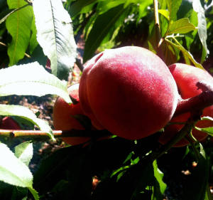 Peaches from Wickham's Tango Oaks