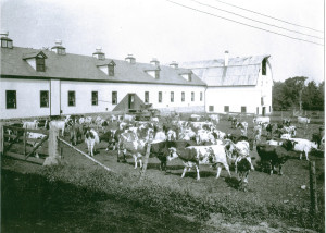 Clifton Springs Sanitarium Company Farm and Cows