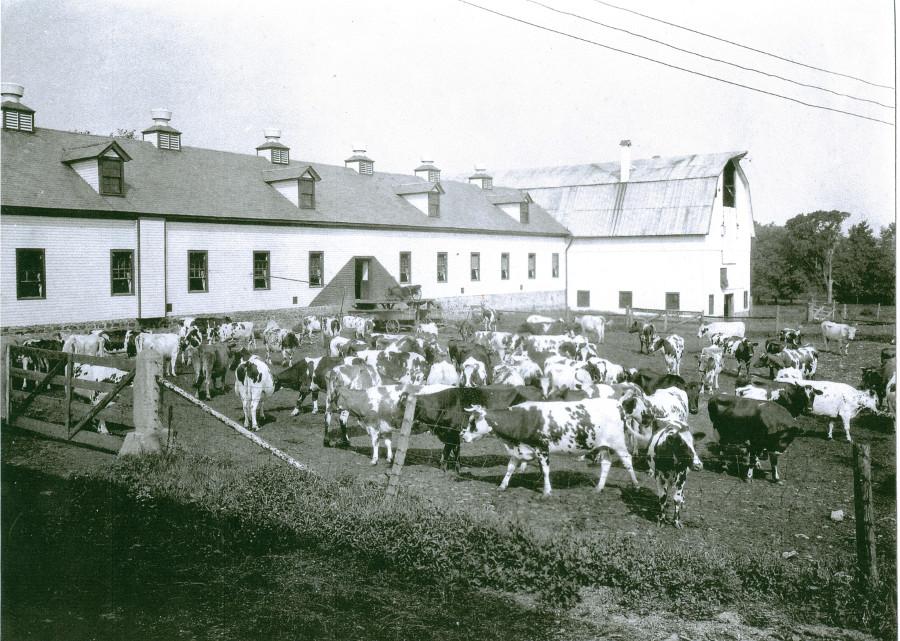 Clifton Springs Sanitarium Company Farm and Cows