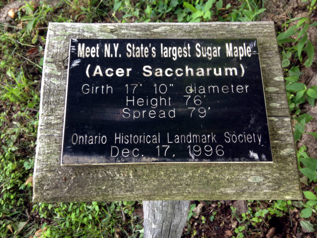 Sign for Largest Sugar Maple Tree in New York State