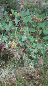 Jewelweed in Ricky Greene Memorial Park in Conesus