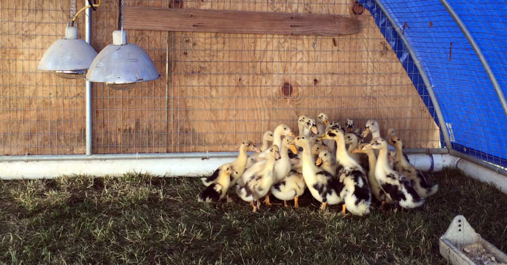 Baby Ducklings at Spotted Duck Creamery in Penn Yan, New York