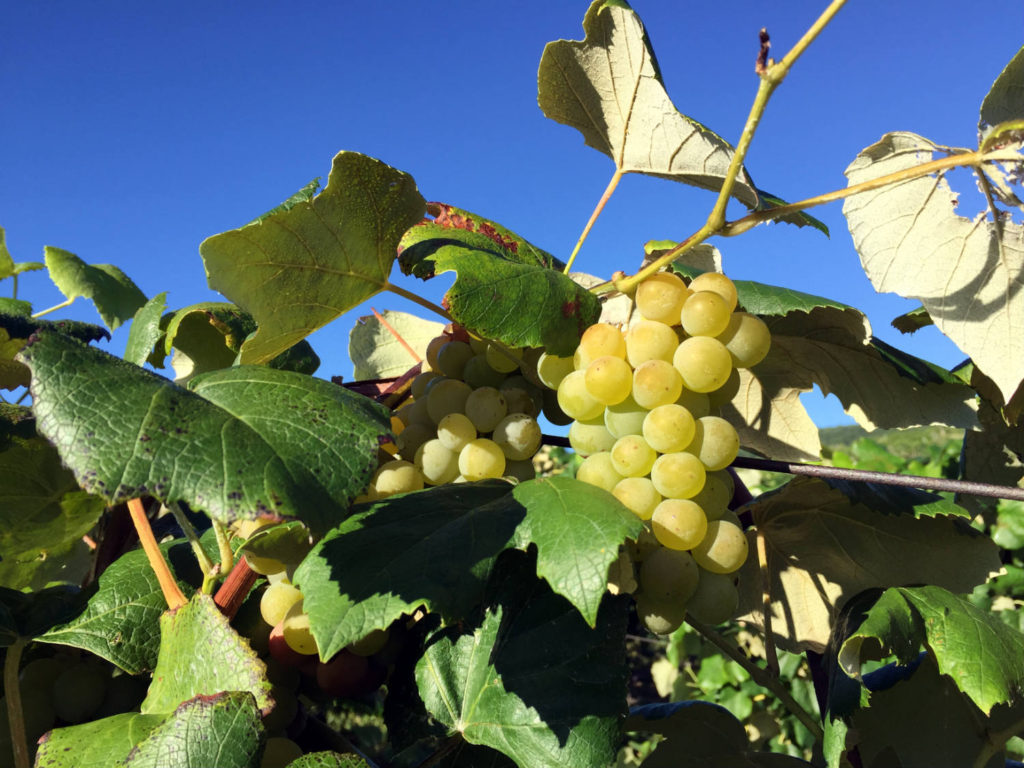 Moore's Diamond Grape at Randall-Standish Vineyards in Canandaigua, New York