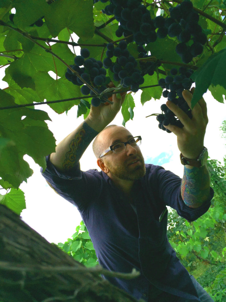 Chris Clemens Picking Concord Grapes at Fulkerson Winery in Dundee, New York
