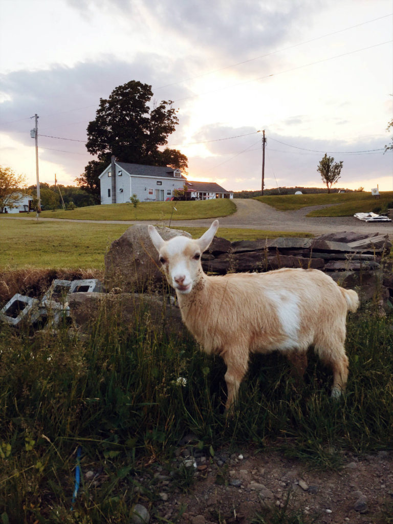 Goat at Gilbertsville Farmhouse in South New Berlin, New York in Chenango County