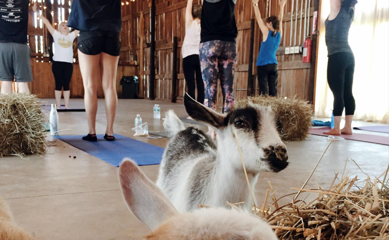 Goat Yoga - Featured Image