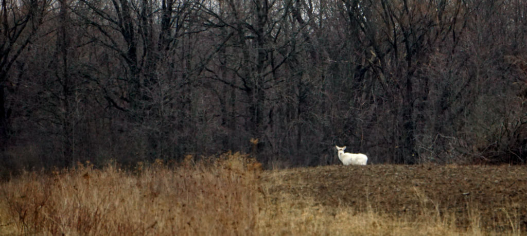 A Seneca Army Depot White Deer Buck in the Finger Lakes