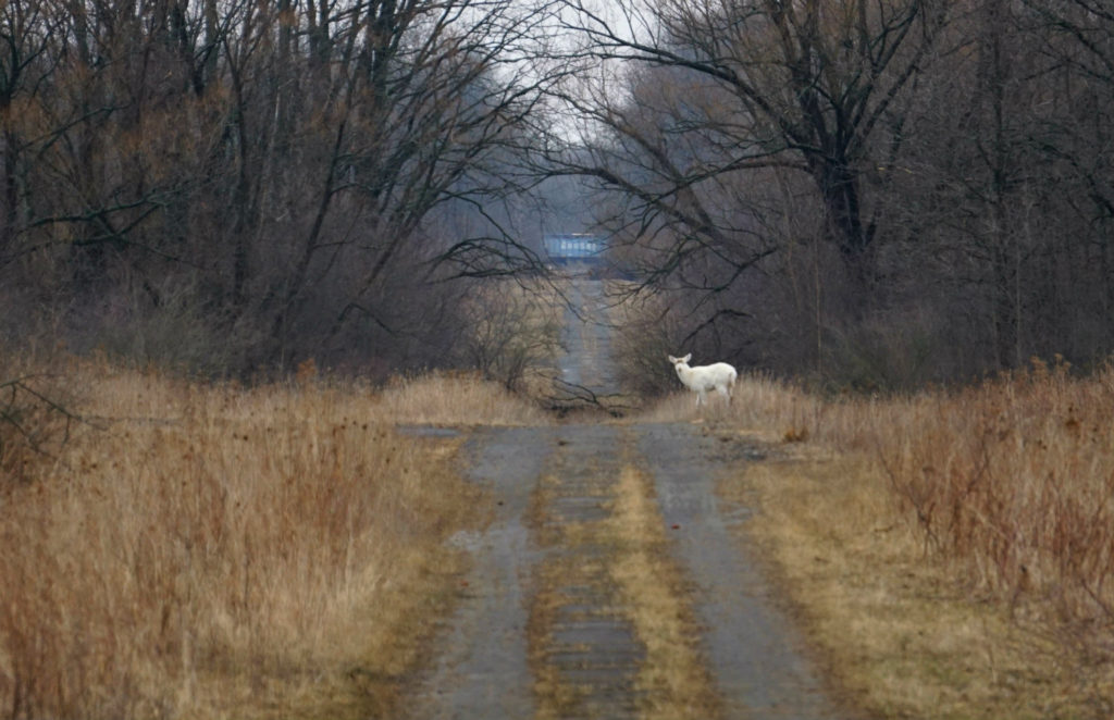 Seneca White Deer Crossing the Road in the Seneca Army Depot in the Finger Lakes