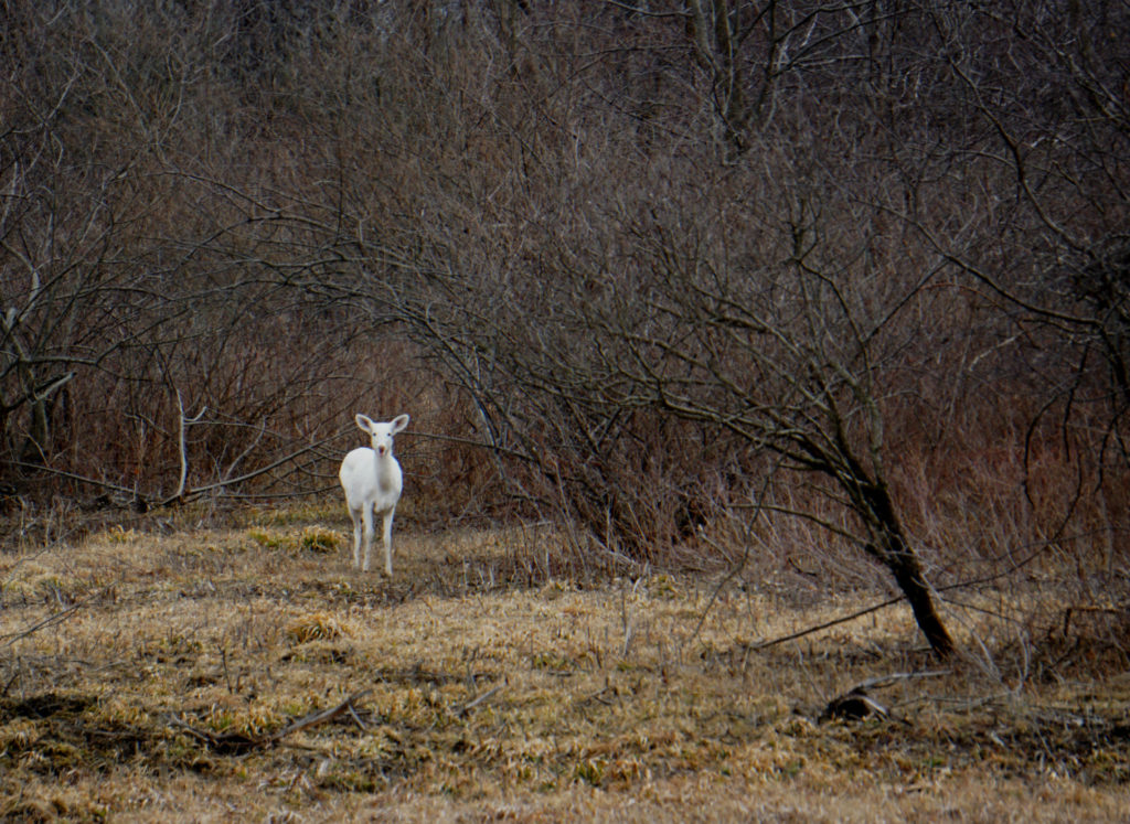 A Seneca White Deer in the Finger Lakes