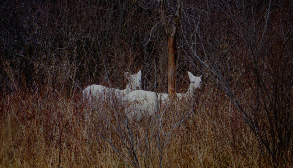 Seneca White Deer - Featured Image