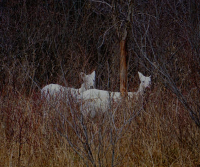 Seneca White Deer - Featured Image