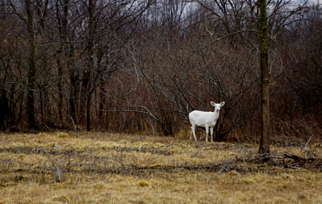 A Seneca White Deer at the Army Depot in the Finger Lakes