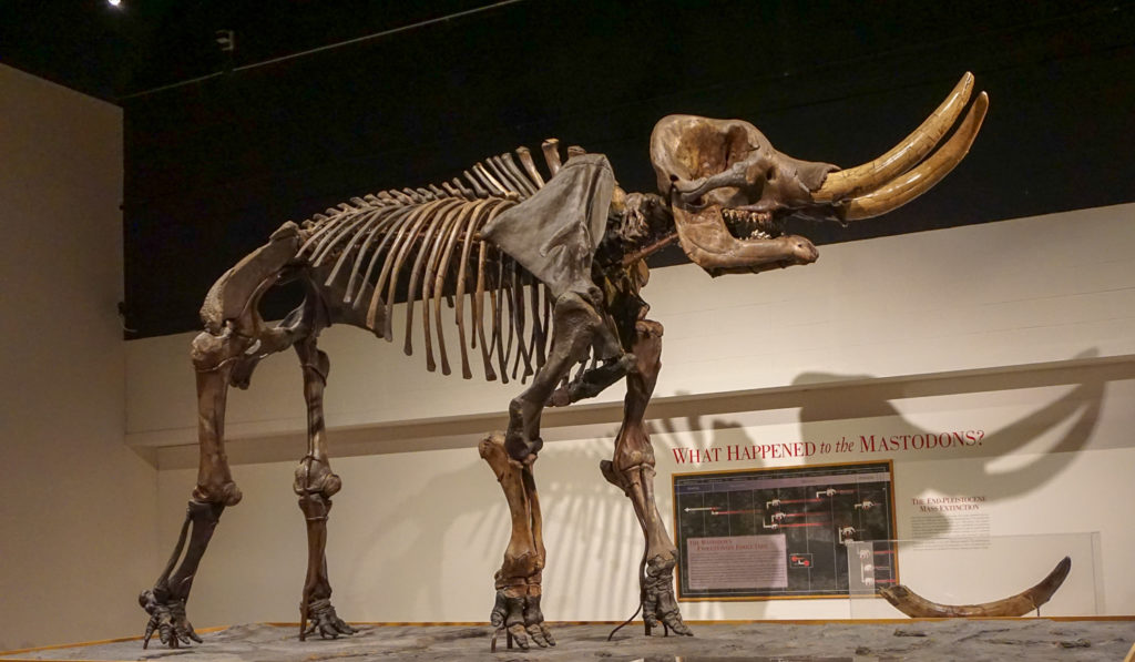 Cohoes Mastodon in the New York State Museum in Albany, New York