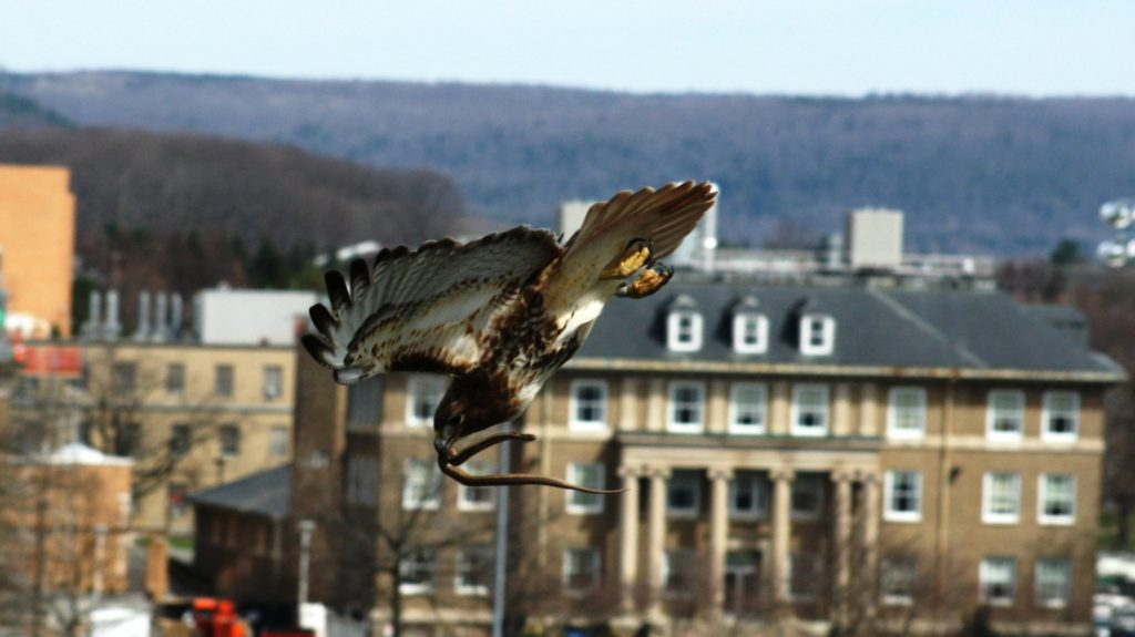 Birdwatching Red Hawk On Cornell University Campus