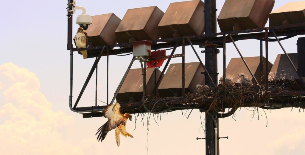 Birdwatching Hawks In the Finger Lakes Near Bird Cams