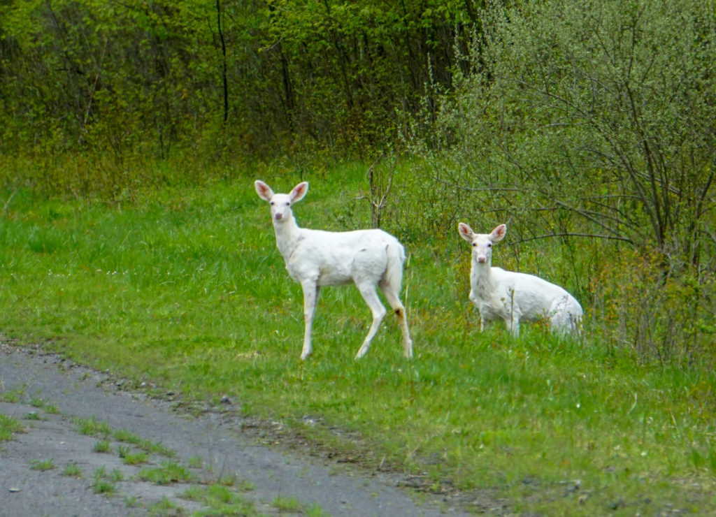 Seneca White Deer in Romulus, New York