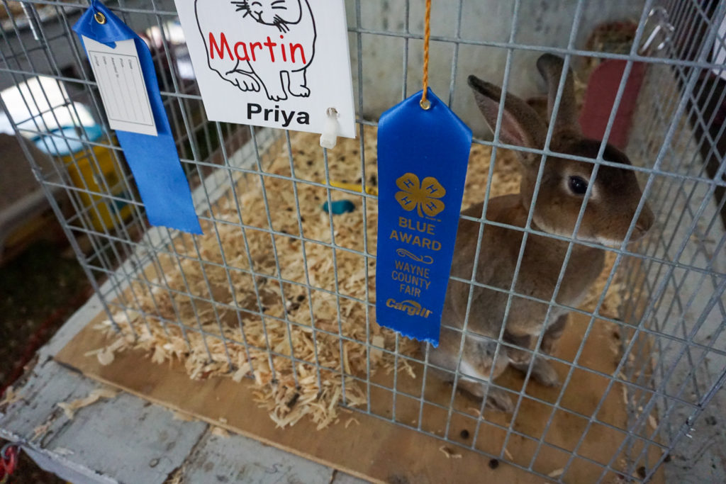 Prize Winning Rabbit at the Wayne County Fair in Palmyra