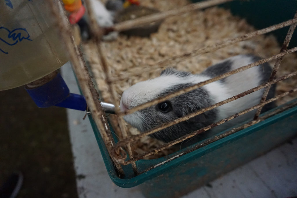Guinea Pig at the Wayne County Fair in Palmyra